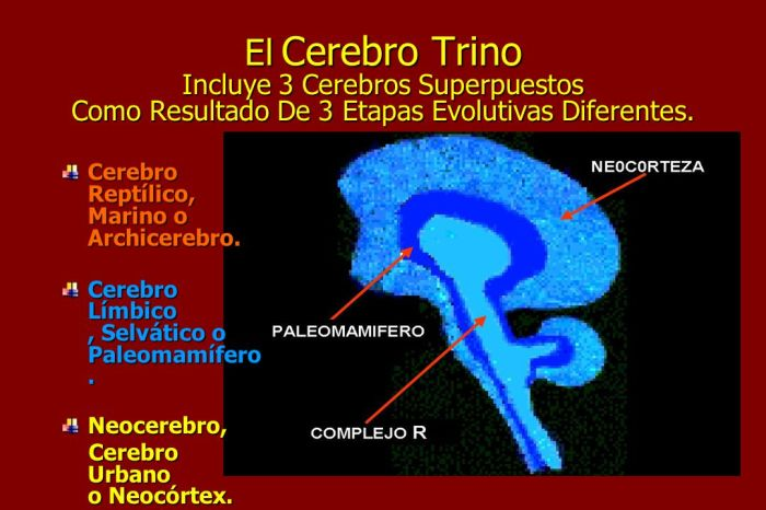 El+Cerebro+Trino+Incluye+3+Cerebros+Superpuestos+Como+Resultado+De+3+Etapas+Evolutivas+Diferentes.